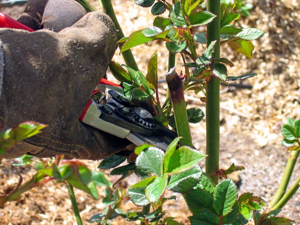 Обрезать стебли следует в весеннее, летнее и осеннее время. Обрезка, проводимая весной, является наиболее значимой, так как кустик сможет освободиться от ненужных и поврежденных стеблей, а также произойдет его формирование.
