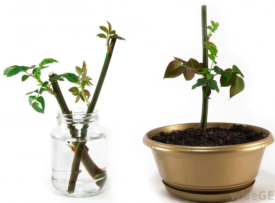 Кустовую розу можно размножить семенами и вегетативным способом, а именно: деление кустика; черенкование; отводки; отпрыски; прививка.