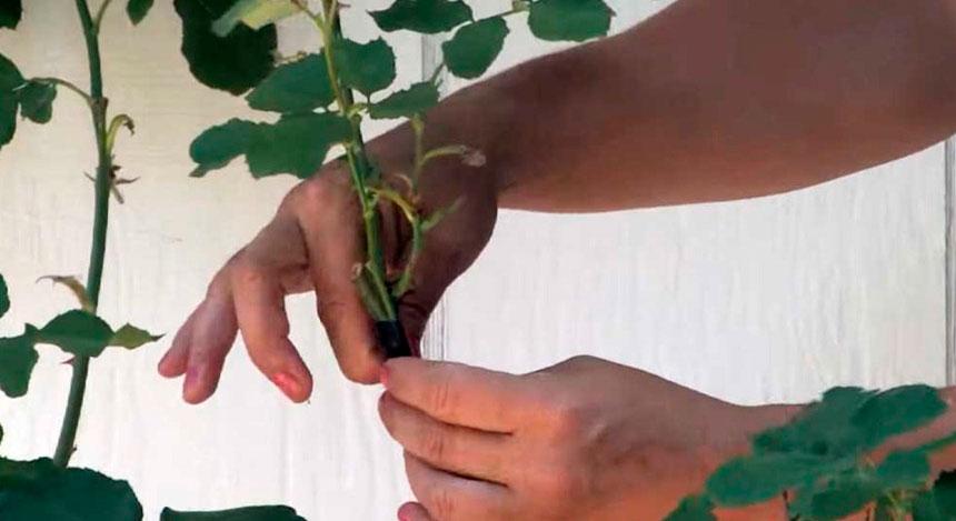 Прививку производят на молоденькие сеянцы шиповника. Наиболее подходящий для этой цели вид ― роза собачья (Rosa canina), а также примерно 20 ее разновидностей. Она обладает высокой морозостойкостью и хорошо развитой системой корней.