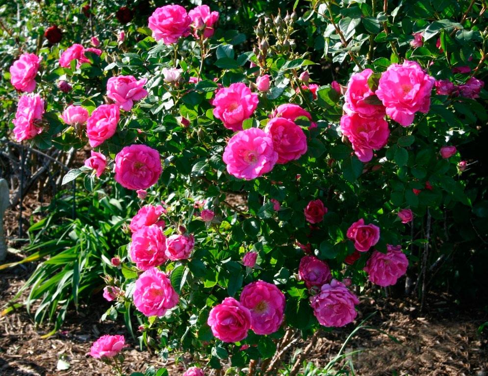 Кустики кустовой розы могут иметь самую различную форму, напрямую зависящую от сорта ― от раскидистой до узкопирамидальной. Также от вида и сорта зависит и высота кустика, которая может варьироваться от 25 до 300 сантиметров (и даже больше).