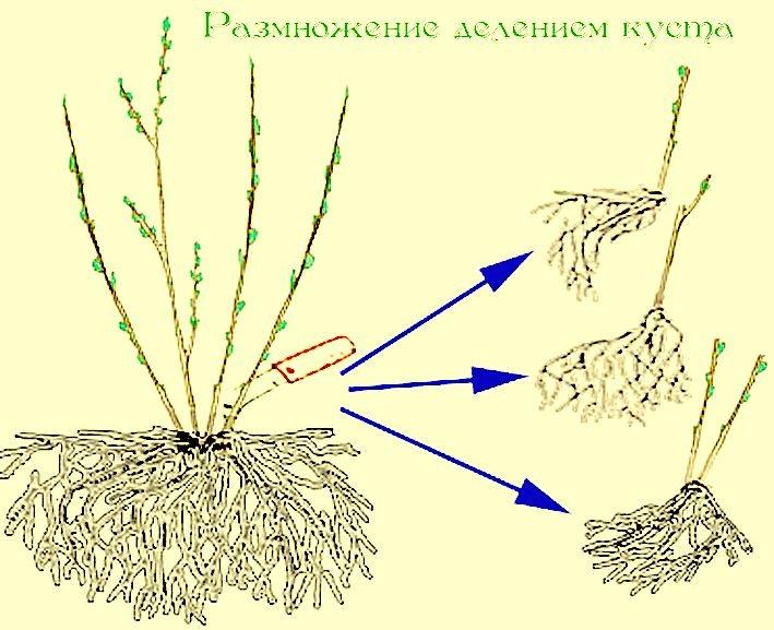 Поделить куст можно лишь у корнесобственного растения. В осеннее либо весеннее время надо вырыть куст и поделить его при помощи очень острого, заранее простерилизованного, инструмента на части.