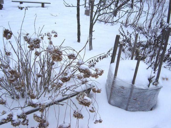 На участке надо разместить приманки для грызунов с отравой. После того как появятся сугробы, снегом следует закидать накрытые кустики розы.