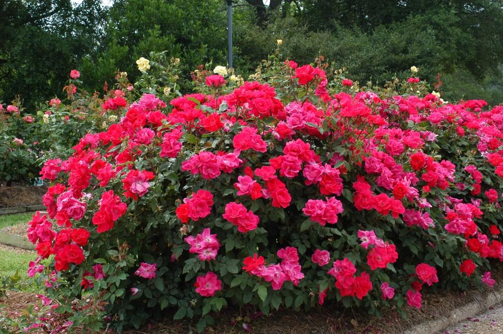 Недаром розу именуют «королевой цветов». Если вы хотите иметь у себя на садовом участке благоухающий кустик розы, то для этого просто необходимо знать некоторые особенности и хитрости в уходе за ней.