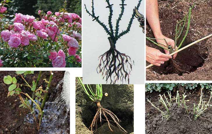 Специалисты советуют высаживать кустовые розы исключительно в осеннее время с начала сентября месяца и до второй половины октября.