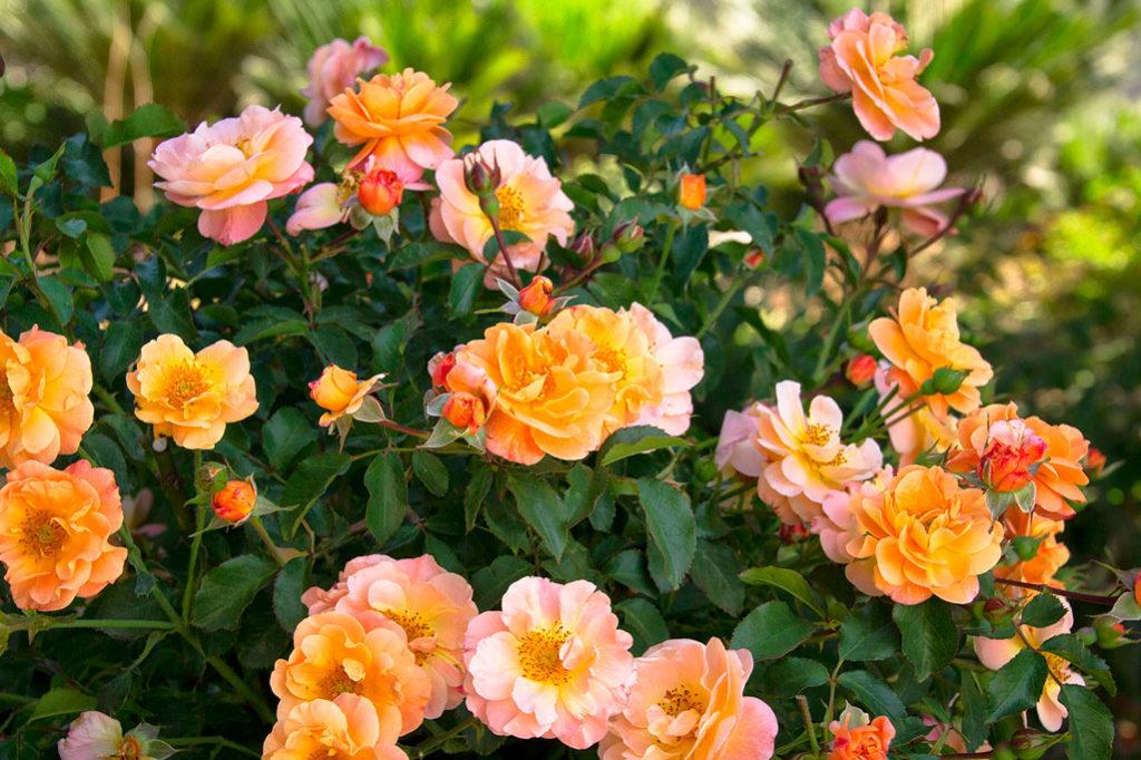 В течение первого года с момента посадки кустовой розы нужно регулярно производить прищипку кончиков стеблей, для того чтобы кустик становился все пышнее.