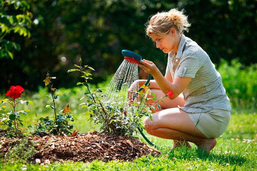 Такие растения не являются очень влаголюбивыми. Специалисты советуют осуществлять полив только в случае необходимости, а точнее, когда грунт станет совсем сухим.