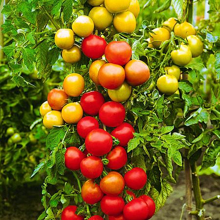Томат «Катрина» F1: описание, урожайность, фото и отзывы