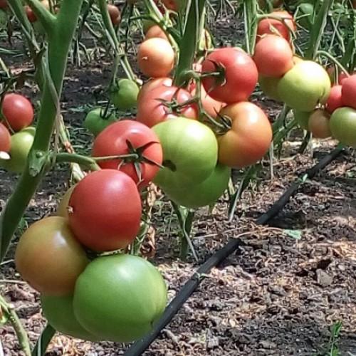 Томат Мей Шуай F1: описание, урожайность, фото и отзывы