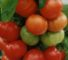 Томат «Оля F1»: описание, урожайность, фото и отзывы