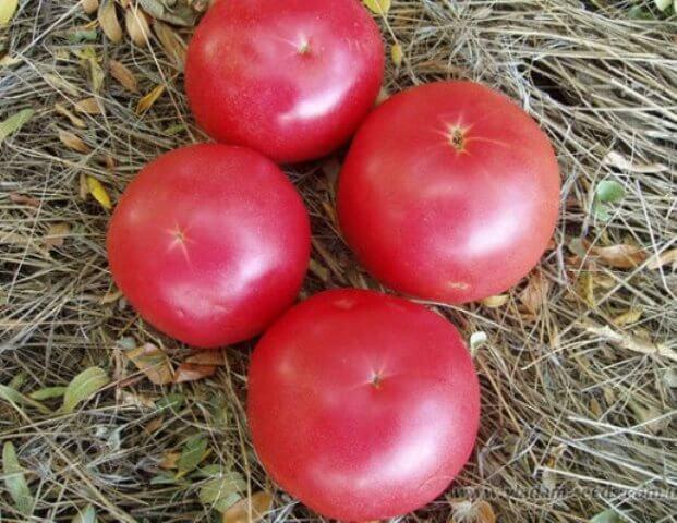 Томат Пинк Уникум F1: описание, урожайность, фото и отзывы