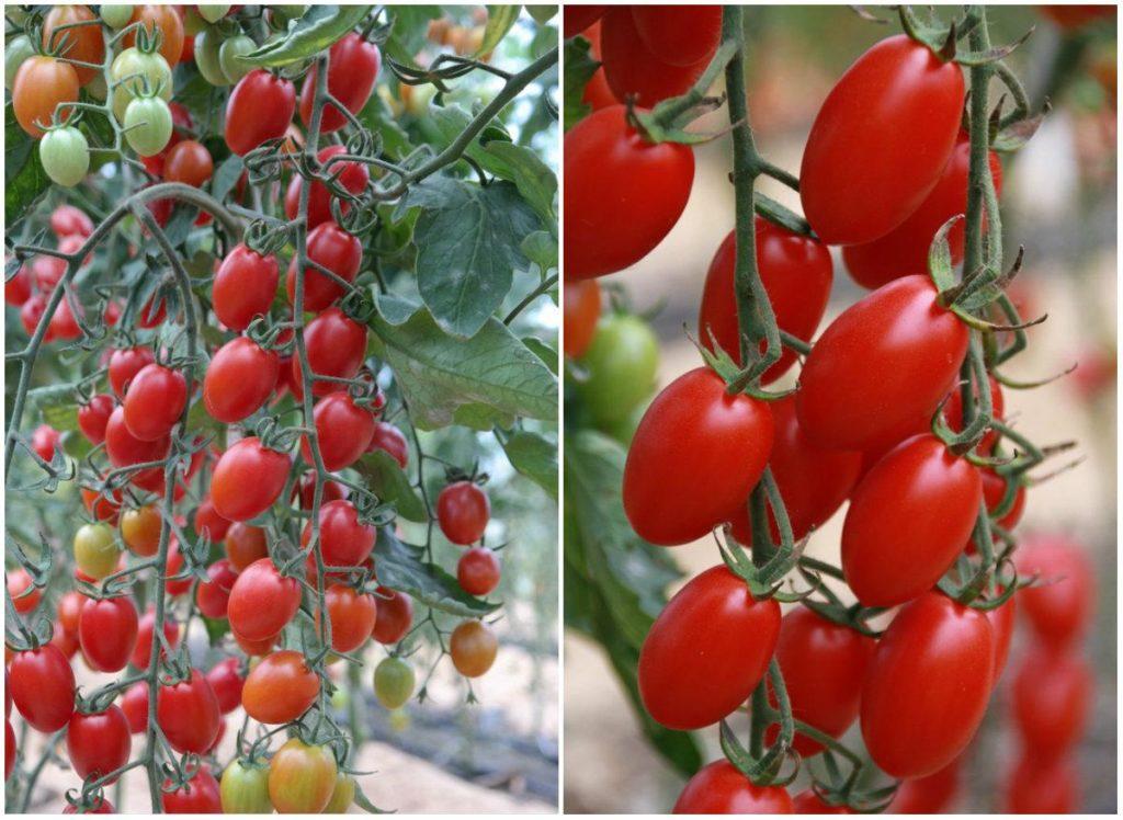 Ради маленьких, до 30 грамм, продолговатых ягод Кира F1 придётся приложить немало усилий. Гибрид отличается хорошими вкусовыми качествами, универсальностью, эстетичной эллипсообразной формой ярко-алых ягод, высокой урожайностью.