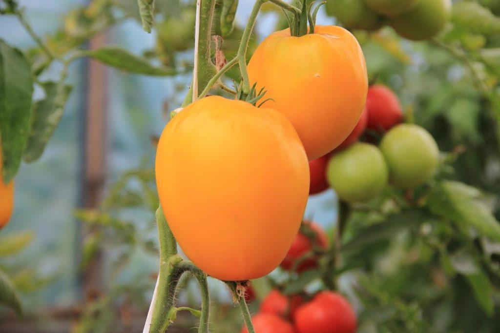 Ярко-рыжие, чуть вытянутые плоды сорта «Лисенок» привлекают внимание. Довольно крупные, до 250 г, с тонкой кожицей и нежной мякотью, они отлично подходят как для консервации, так и для употребления в свежем виде.