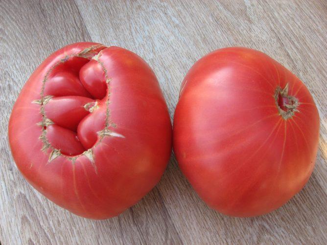 Для огородников, любящих рекорды, «Подмосковный гигант» – это настоящая находка. Индетерминант, он вырастает до 2,5 метров, дает плоды до 800 г, мясистые, плотные, с хорошим вкусом, и довольно устойчив к «помидорным» болезням при невысокой влажности.
