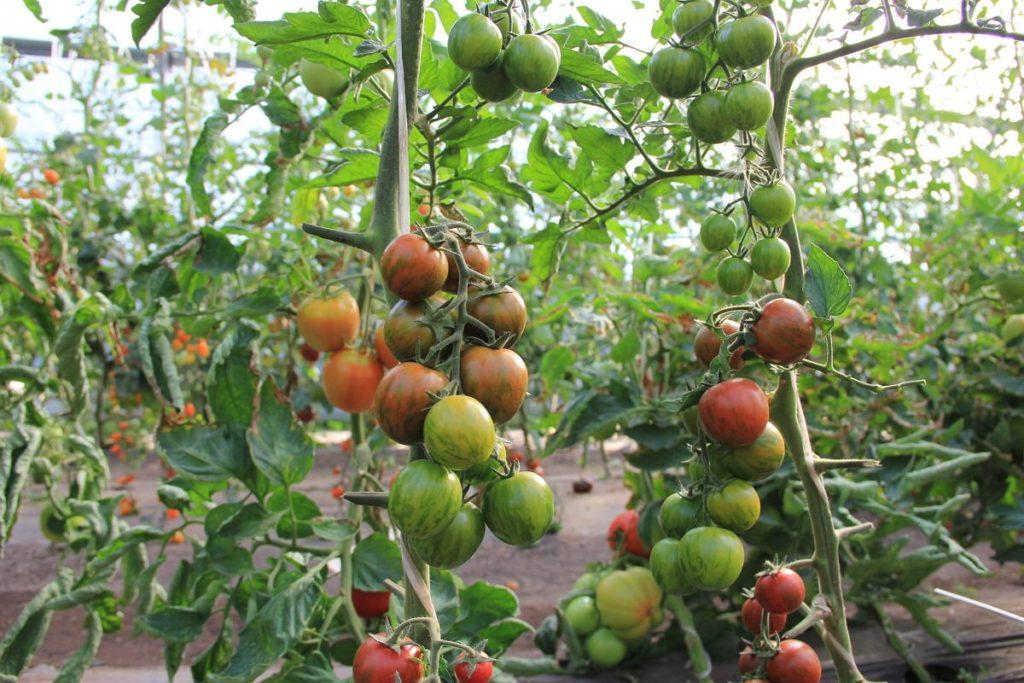 Любителям универсальных сортов явно придется по душе «Полосатый рейс» – эти томаты отлично себя чувствуют и в грунте, и в теплице, дают отменный урожай, их можно заготавливать как в спелом, так и в недозрелом варианте, плоды пригодны для квашения, маринования и употребления в свежем виде.