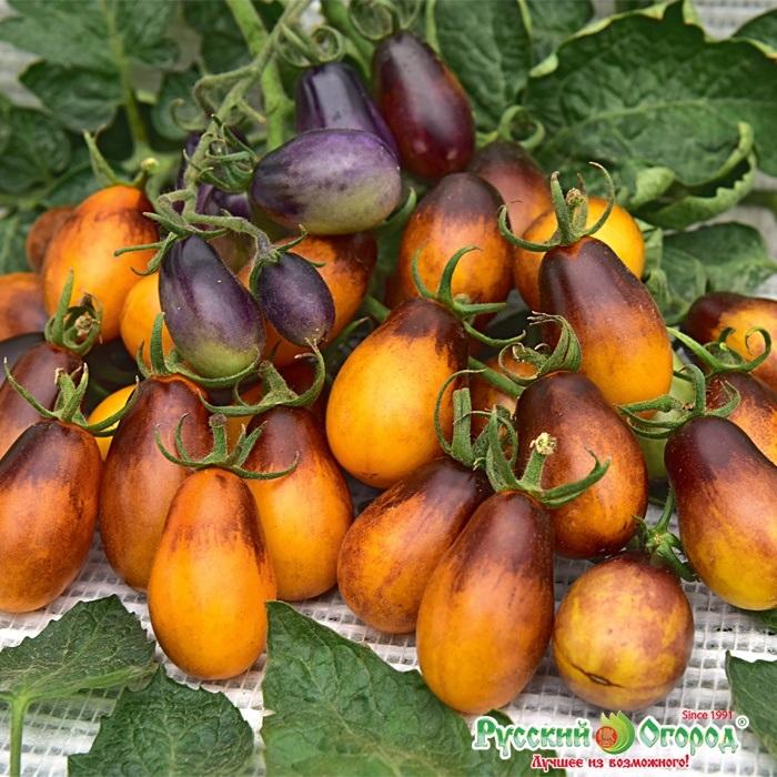 Другой оригинальный экзот – «Сливовая капля F1». На кусте высотой от метра до полутора метров за сезон может вызреть до 500 оранжево-фиолетовых плодов весом 40-45г. Помимо высокой урожайности, гибрид отличается повышенным содержанием каротина и других витаминов.