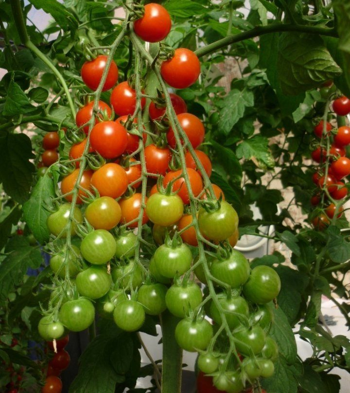 Гибрид для теплиц и отапливаемых парников – «Терек F1». Высокоурожайный, скороспелый сорт, защищенный от большинства болезней, как и любые гибриды. Созревает за 90 дней, помидорки мелкие, 15-19г, одновременно созревает до 25 штук.