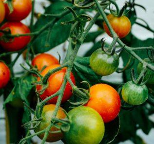 Новые сорта томатов на 2018 год