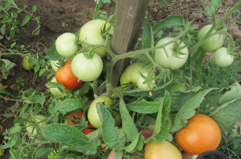 Гибрид «Аврора F1» плодоносит дружно, плоды хранятся долго, отличаются хорошим вкусом и сочностью.