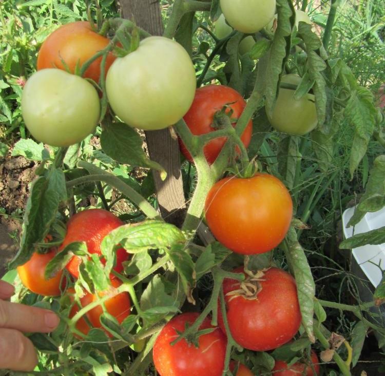 Томат «Аврора F1»: описание, урожайность, фото и отзывы