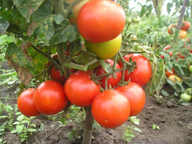 «Буян» – сорт для самых ленивых. Достаточно поливать и по желанию – удобрять, чтобы получить урожай вытянутых цилиндрических плодов весом до 180 г.