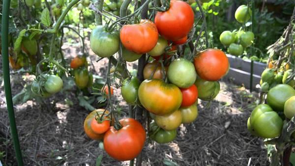 Томат «Дубрава (Дубок) F1»: описание, урожайность, фото и отзывы