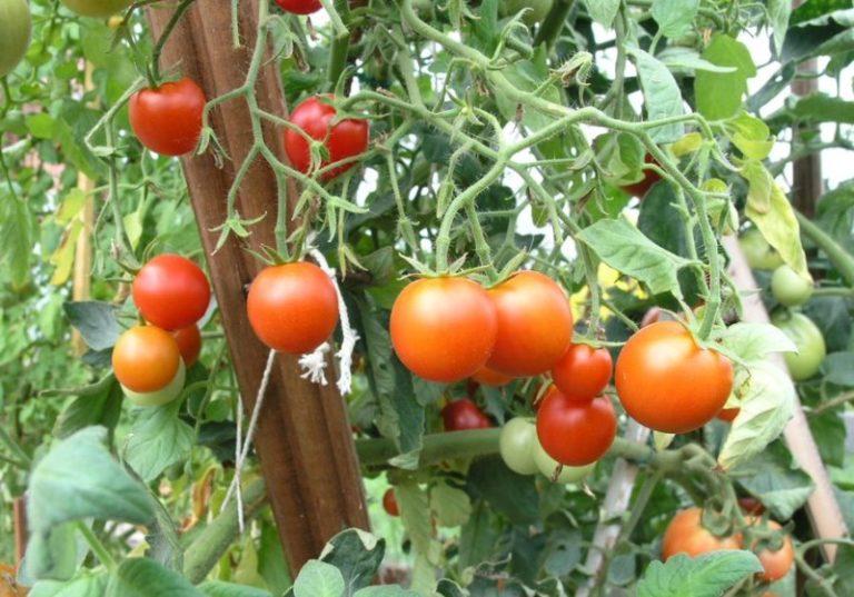 «Сибирский скороспелый» дает неплохой урожай в грунте и отличный – в теплице
