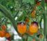 Томат «Сливовая капля F1»: описание, урожайность, фото и отзывы