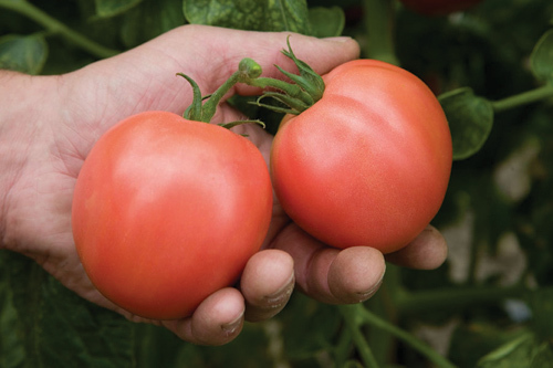 Это «Тарпан F1», приносящий до пяти с половиной кг плодов с куста. Средний вес томата около 170г, сами плоды розово-красные, нежные и мясистые.
