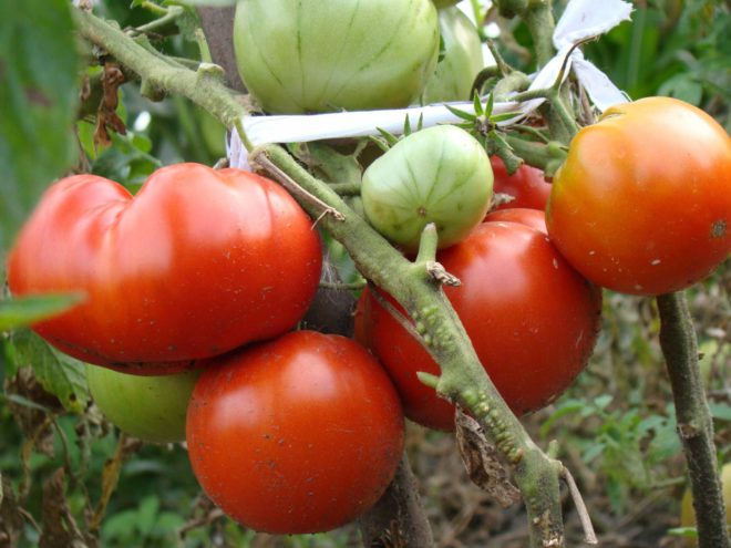 Сорт «Толстый Джек» приносит плоды до 300 г, поэтому в подвязке нуждается не только стебель, но и ветви растения.