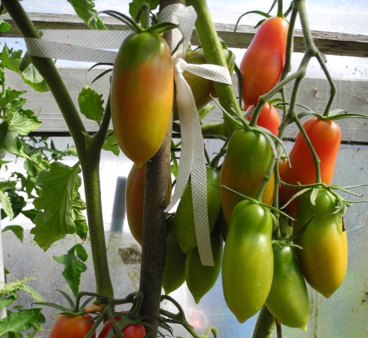 Утонченные ярко-малиновые помидорчики сорта «Варвара» выглядят на фоне остальных этакими аристократами: продолговатые плоды весом по 80-90г, аппетитные и лежкие, с хорошим насыщенным вкусом.