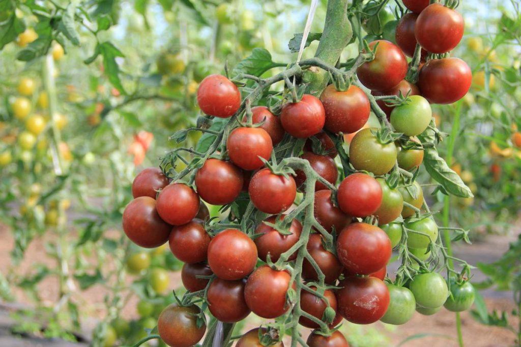 Беседка или шпалера, увитая томатами? Легко! Сорт «Черный жемчуг» можно выращивать, как декоративное растение, а можно – в пищу, поскольку небольшие розово-шоколадные помидорки не только прелестно выглядят, но и отличаются нежным, плотным, насыщенным сладковатым вкусом.