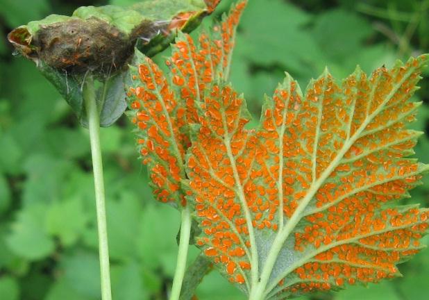 Например, ржавчина может унести до половины урожая, если своевременно не заметить на листьях рыжеватые липкие споры, которые облепляют зеленые ткани листа, вызывая потемнение и отмирание побегов.