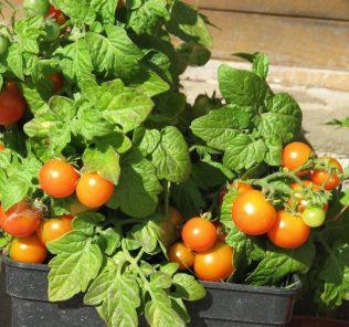 как «Балконное чудо» характерны малые размеры плодов