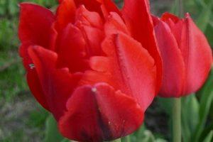 Тюльпан Абба