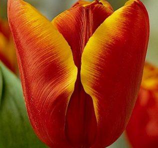 Тюльпан Абу Хасан