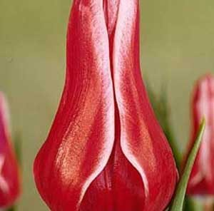 Тюльпан Акита