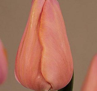 Тюльпан Анастасия