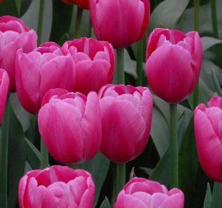 Тюльпан Анаконда