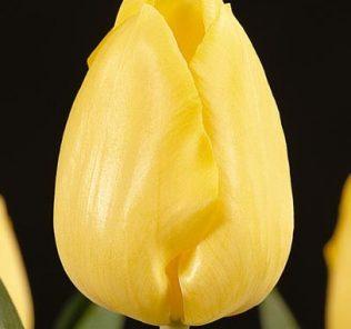 Тюльпан Афродита