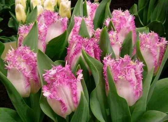 Картинки по запросу тюльпан Ариа Кард
