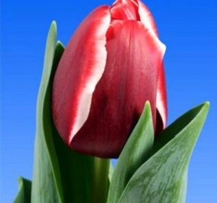 Тюльпан Армани