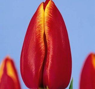 Тюльпан Асирам