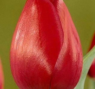 Тюльпан Атилла