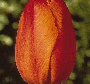 Тюльпан Авиньон