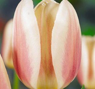 Тюльпан Бью Монде