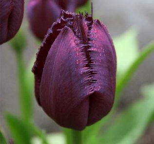 Тюльпан Кубан Найт