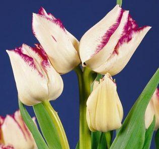 Тюльпан Фрисби