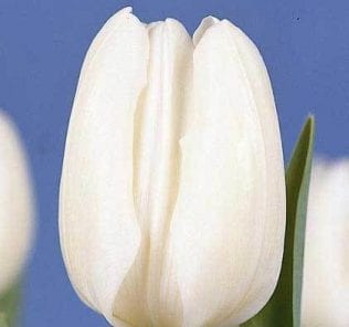 Тюльпан Голту
