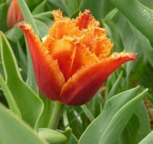Тюльпан Густо