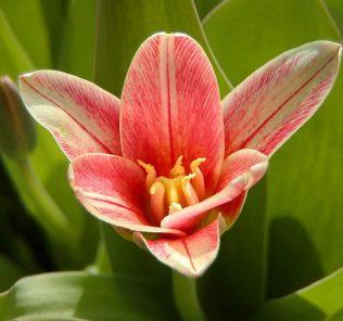 Тюльпан Жантин